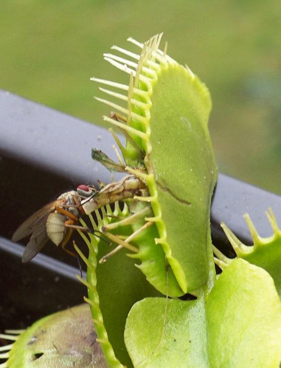 Venusfliegenfalle//ca.100 Samen//Fleischfressende Pflanze//Fängt Insekten